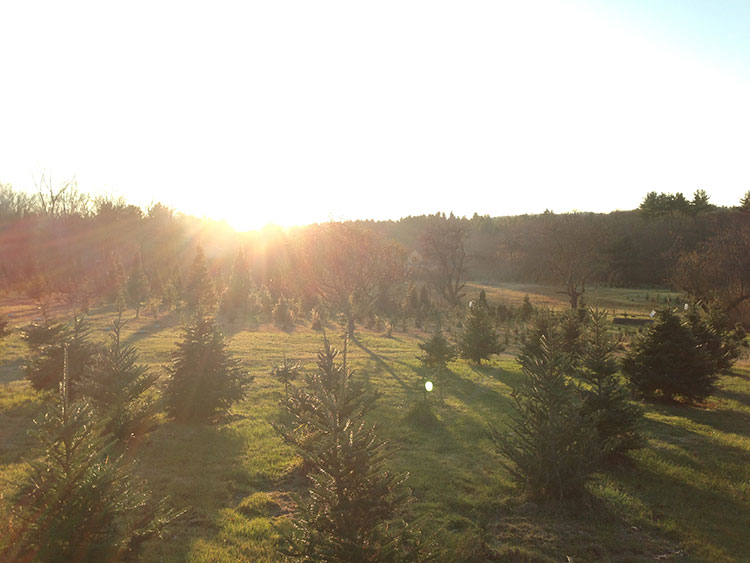Riverwind Tree Farm at sunset