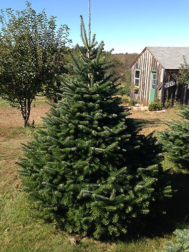 Grand Fir tree for sale at Riverwind Tree Farm